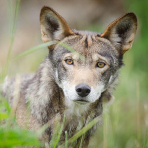 Wolf for Bring Back Red Wolves