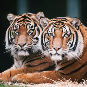 Two tigers for Conserve