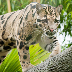 Clouded leopard on branch for World Tiger Day