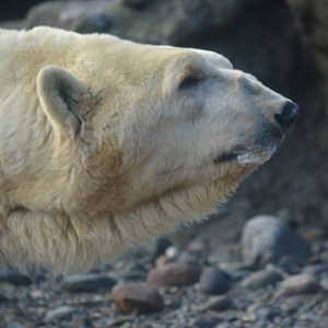 Boris the polar bear