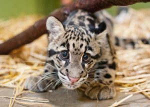 Clouded leopard on straw