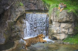 Tiger by waterfall