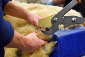 Cutting polar bear toenails takes a big clipper.