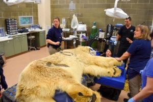 Zoo and guest veterinary staff prepare for Boris' exam.