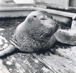 Historic photo of Dub Dub the seal