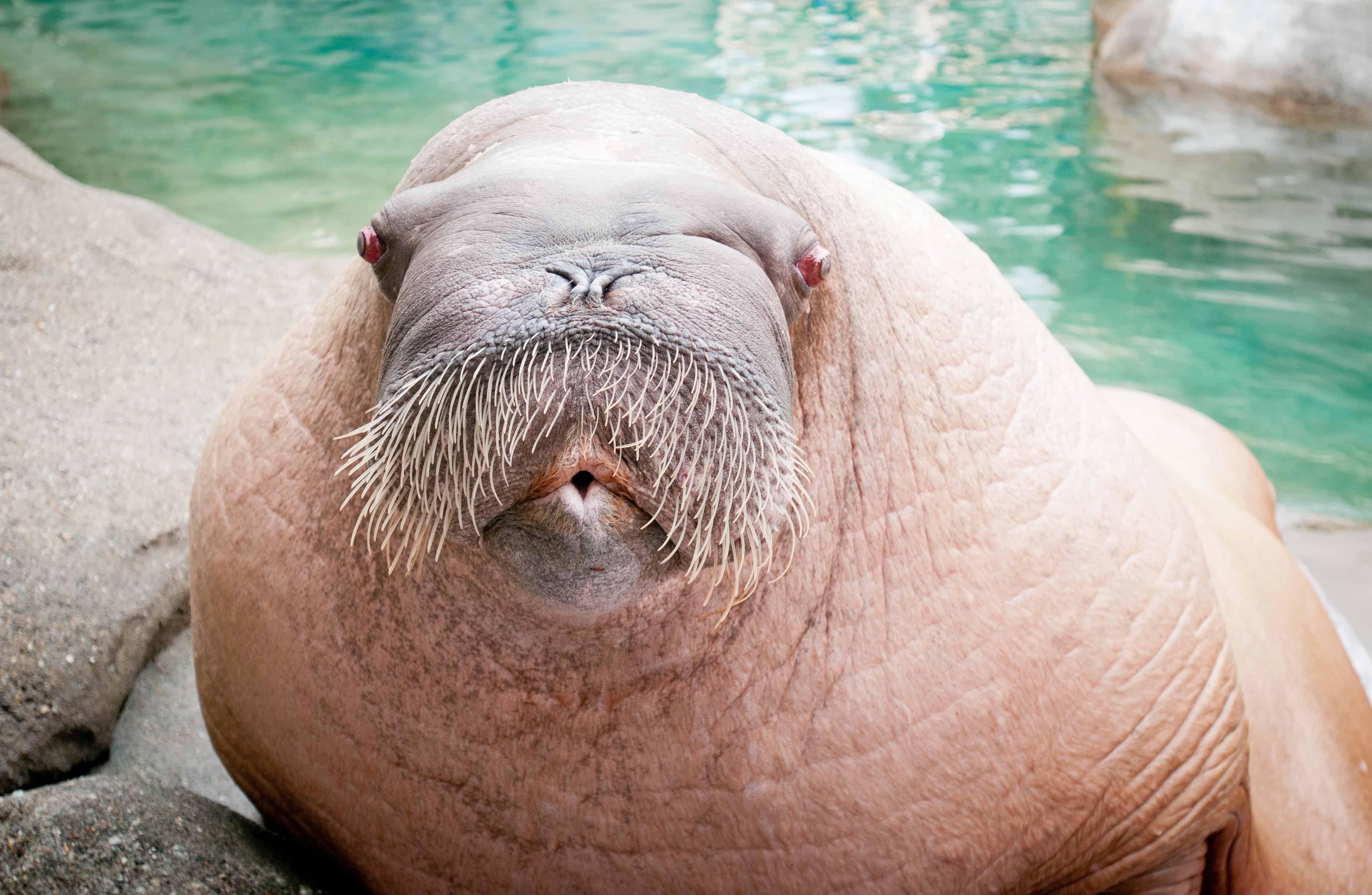 e t the walrus a bronze sculpture at point defiance zoo aquarium