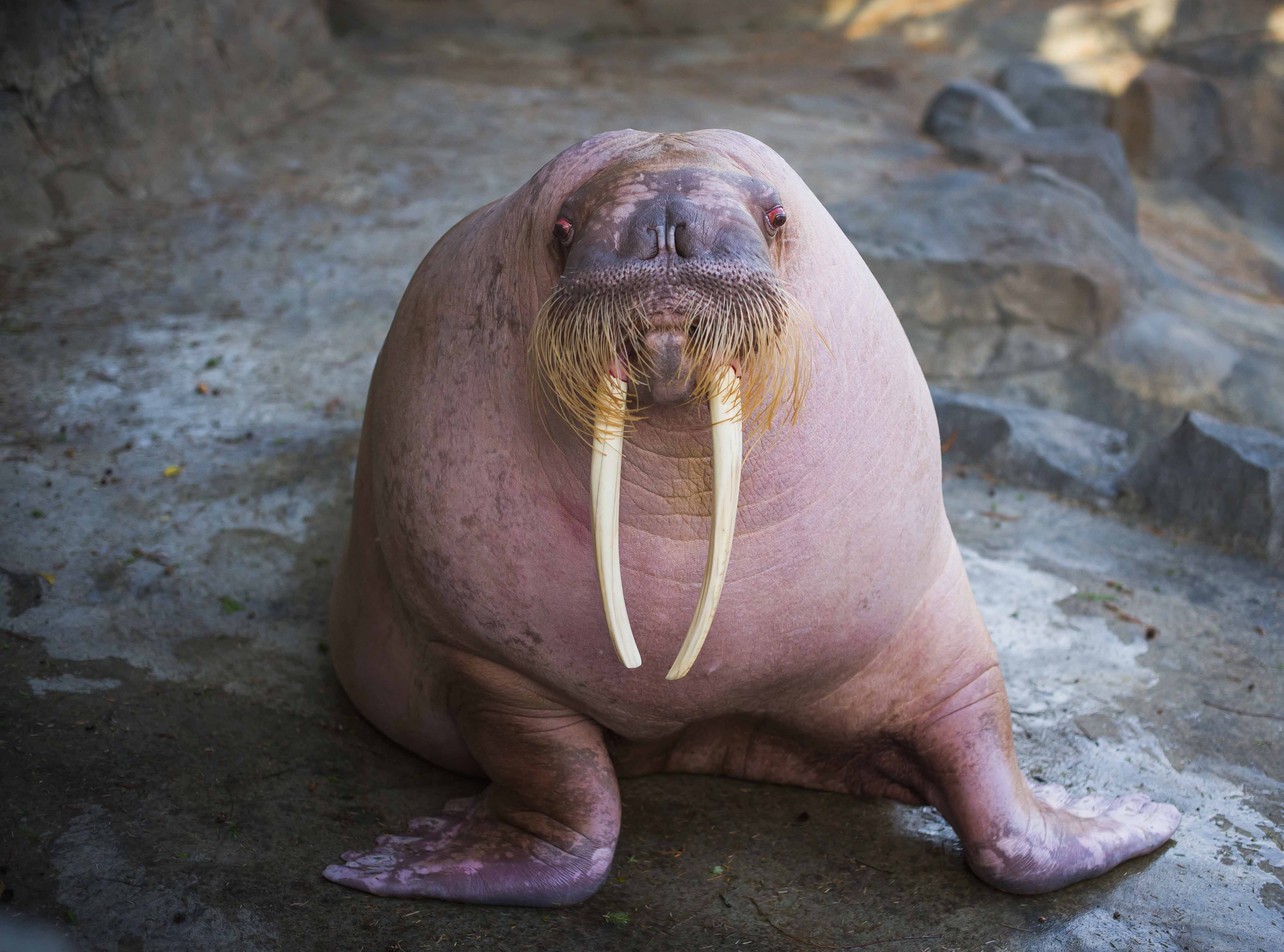 dozer is back to charm the walrus ladies at point defiance zoo