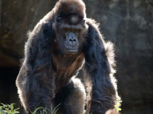 Ivan the gorilla.