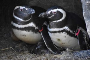 Penguin parents Pink and Red with their chick.