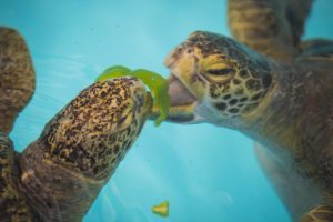two sea turtles eating lettuce